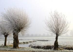 huugsneeuwboom